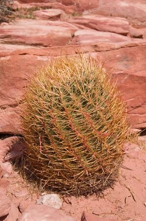 California Barrel Cactus  Ferocactus cylindraceus  growing in the desert by red sandstone Stock Photo - 13211034