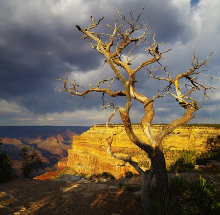 mohave: dead pine tree on the South rim of the Grand Canyon near Mohave Point