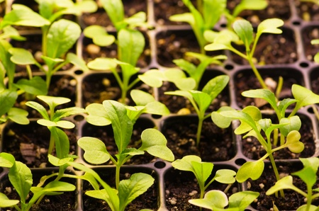 sprouting green seedlings growing in flats Stock Photo - 13369085