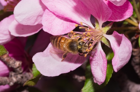 pollinator: a honey bee pollinates a pink ornamental tree flower blossom