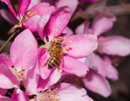 a honey bee pollinates a pink ornamental flower blossom Stock Photo - 13551519