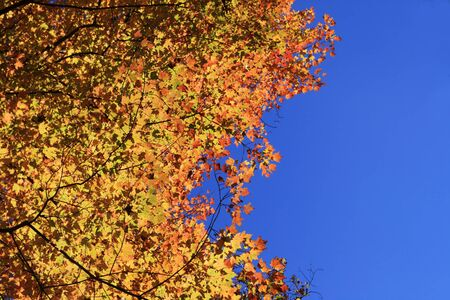 looking up at yellow and red fall maple leaves with blue sky Stock Photo - 13642692