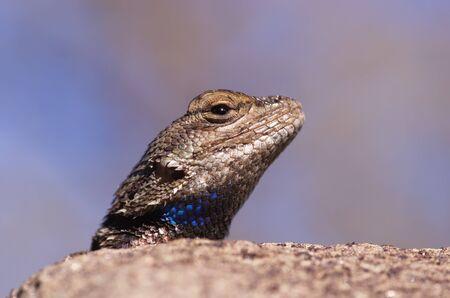 macro image of a plateau fence lizard head looking over a rock Stock Photo - 13642690