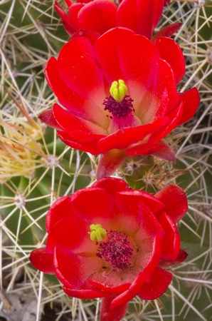 close up image of red hedgehog cactus flowers