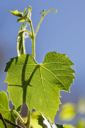 tight focus: backlit green grape leaf and vine with blue sky