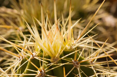 tight focus: macro image of many hedgehog cactus spines Stock Photo