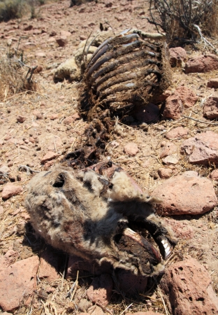 carcass: dead sheep carcass that has been picked over by scavengers and dessicated in the desert sun