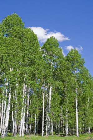 populus tremuloides: grove of aspen trees in the spring with blue sky and white cloud