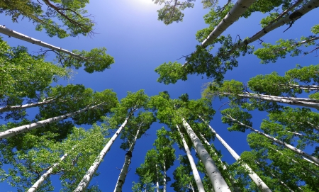wide angle image looking up in an aspen grove to the aspen tree tops with green leaves and blue sky Archivio Fotografico