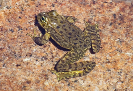 Sierra Nevada mountain yellow-legged frog or Rana sierrae on a granite rock in the water photo