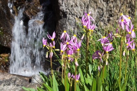 sierra shooting star flowers grow near a small waterfall in the Sierra Nevada mountains of California Stock Photo - 14333679