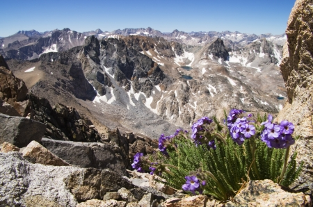 high sierra: sky pilot or polemonium flowers growing high on Black Mountain in the Sierra Nevada Mountains