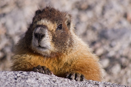 a yellow bellied marmot looks over a granite rock in the Sierra Nevada of California Stock Photo