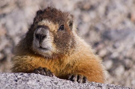 een gele bellied marmot kijkt uit over een granieten rots in de Sierra Nevada van Californië