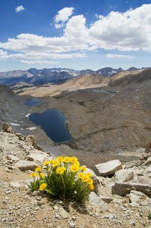 pct: Hulsea algida or Alpine gold yellow wildflowers on high mountain over lake Stock Photo