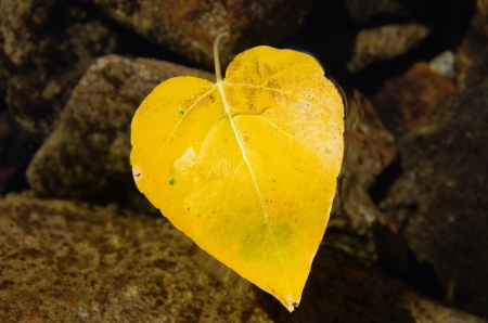 cottonwood  tree: heart shaped yellow fall leaf from a cottonwood tree floating in a lake