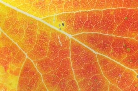 red orange and yellow autumn leaf background macro Stock Photo - 15765001