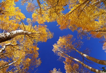 aspen grove: wide angle view up in an aspen grove in the fall with yellow leaves and a blue sky Stock Photo