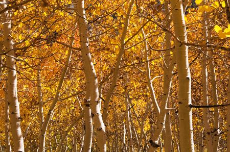 golden aspen trees and trunks in the fall Stock Photo - 15765002