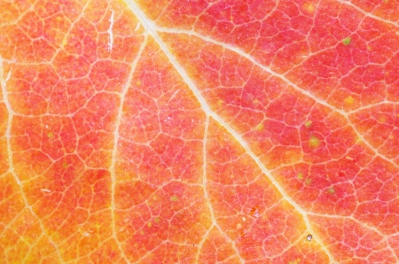 aspen leaf: red orange and yellow fall aspen leaf macro Stock Photo