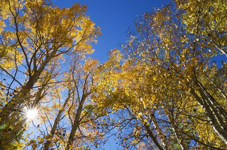Looking up in the fall at the aspen tree tops with sun flare photo
