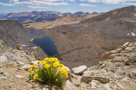 pacific crest trail: landscape image of Hulsea algida or Alpine gold yellow wildflowers on high mountain over lake