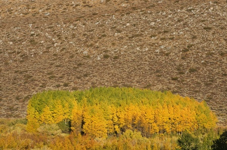 grove of aspen trees in the fall turning yellow Stock Photo - 16403343