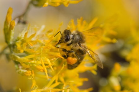 macro image of honey bee on yellow rabbitbrush flower Stock Photo - 16403337