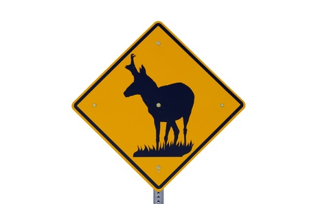 road sign warning of pronghorn antelope crossing the road isolated with white background Stock Photo - 16403341