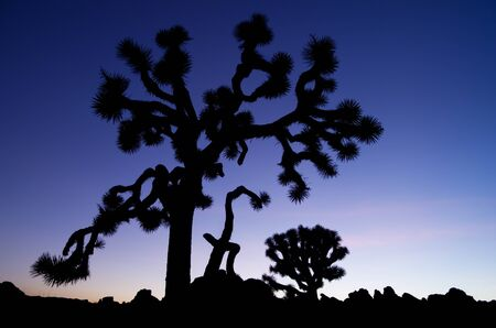 silhouette of an old  joshua tree at Joshua Tree National Park at sunset photo