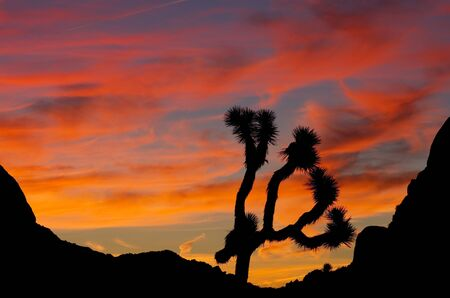 mojave desert: silhouette of a joshua tree at Joshua Tree National Park at sunrise