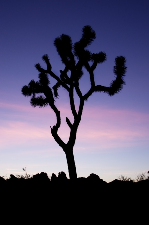vertical image of a Joshua Tree silhouetted against a blue twilight sky