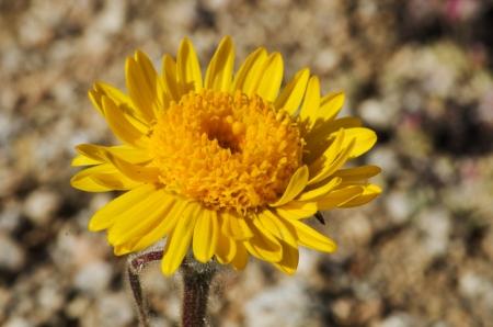 macro image of Hulsea algida or Alpine gold yellow wildflower Stock Photo - 16766118