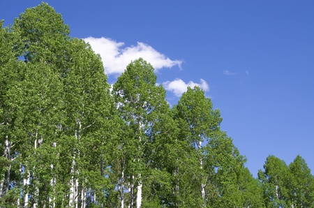 populus tremuloides: horizontal image of aspen tree tops in the spring with blue sky and white clouds