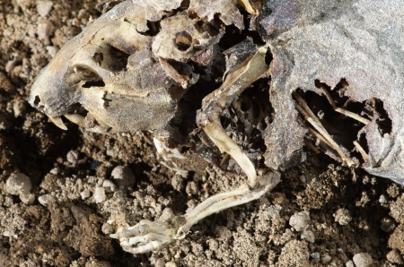 dead rat: dead dried mummified rat head and torso with bones showing Stock Photo