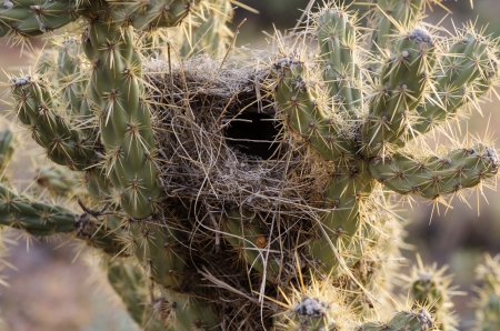 cholla cactus: desert bird nest in a cholla cactus