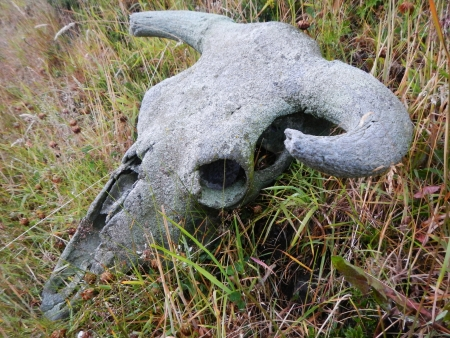 old cattle skull in the grass covered with lichen Stock Photo - 20436449