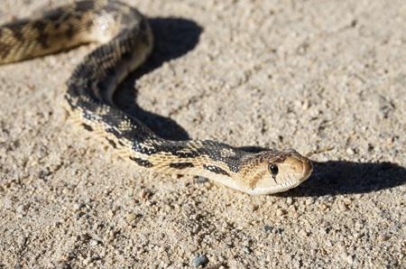 close up of a gopher snake head Stock Photo - 20436459