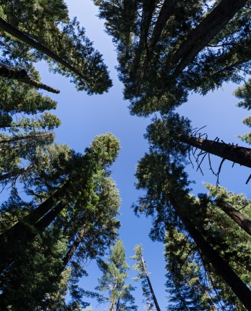 wide angle view up in an evergreen forest showing the perspective Stock Photo - 20436487