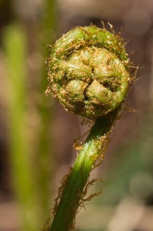 macro image of fern fiddlehead in the spring with blurred background photo