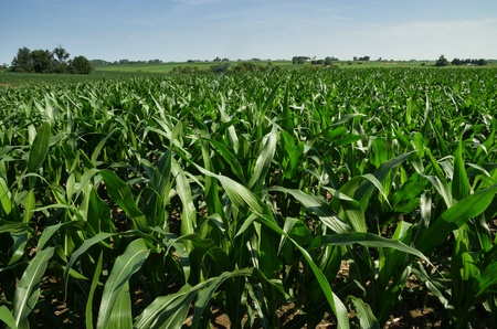 Iowa cornfield in july with distant trees and farm buildings Stock Photo - 21651958