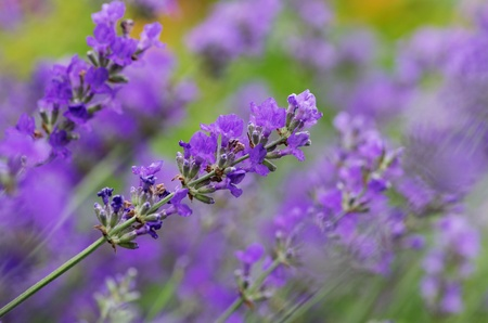 lavender flowers with shallow depth of field Stock Photo - 21802952