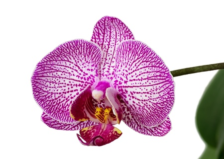 patterned phalaenopsis orchid flower on white background Stock Photo - 21802955