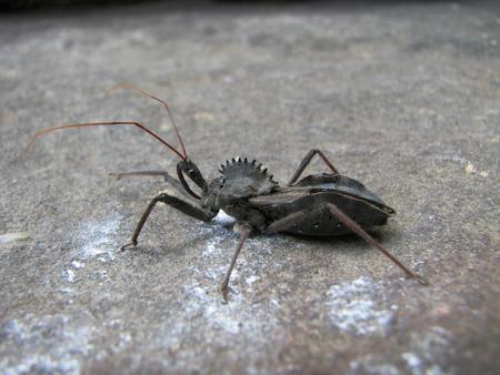 macro of wheel bug (Arilus cristatus), or assasin bug on a rock Stock Photo - 23193078