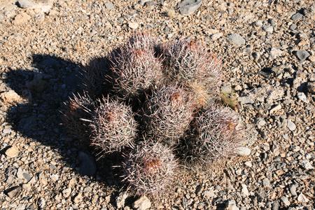 clump: desert cactus clump on flat gravel plain