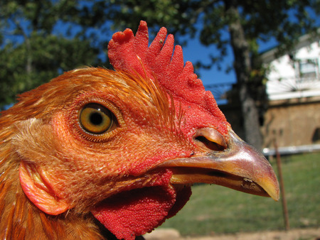 pullet: close up of a red chicken head Stock Photo