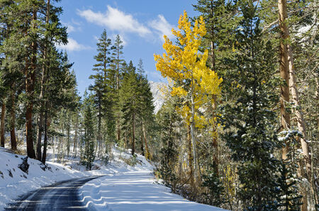 one golden aspen tree along a snowy road with pine trees in the fall Stock Photo - 24316982