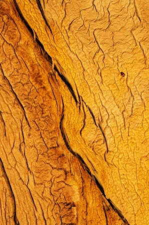 contorted: weathered split wood grain on an old pine tree