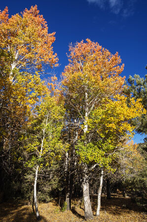 red orange and yellow fall aspen trees with a blue sky Stock Photo - 24317166