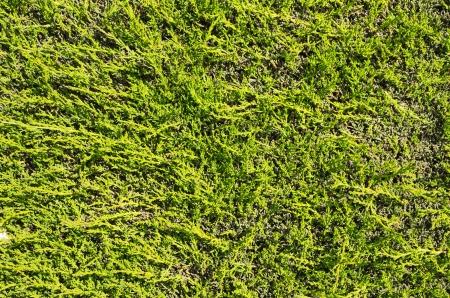 flat green juniper hedge background texture Stock Photo - 24878851